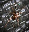 mating spiders - Phrurotimpus borealis - male