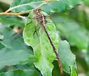 unknown ode - Stylurus plagiatus