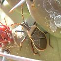 Cactus Bug, on Echinocereus triglochidiatus, - Chelinidea vittiger