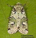 Lacinipolia viridifera - male