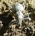 Whitish Grey Weevil - Ophryastes varius