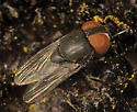 Big-headed Fly ? - Eusiphona