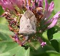 Which shield (or stink) bug, please? - Euschistus servus