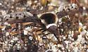 Bombyliidae ? - Bombylius pygmaeus