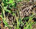 Medium/small sized banded Dragonfly - Stylogomphus - female