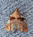Tosale oviplagalis - Dimorphic Tosale Moth - Hodges#5556 - Tosale oviplagalis