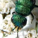 Cuckoo Wasp Hedychrum - Hedychrum - male