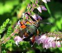 Orange and Brown Insect - Melittia cucurbitae