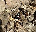 Red and White moth - Psychomorpha epimenis