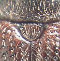Sphindid - Eurysphindus hirtus