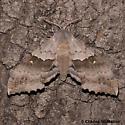 Pachysphinx occidentalis 7829 - Pachysphinx occidentalis