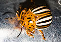 potato beetle - Leptinotarsa juncta