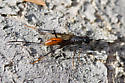 Ichneumon? - Pristaulacus rufitarsis - female