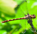 brown and yellow darner? dragonfly - Progomphus obscurus - female