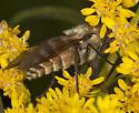 Fly IMG_3439 - Stonemyia