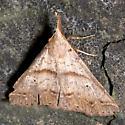 Renia Moth - Renia discoloralis - female