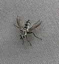 20140719.mystery.fly.jpg - Zelia - female