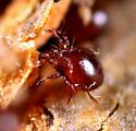 Mites - Mochloribatula