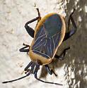 Bugshot Bug - Chelinidea vittiger