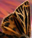 Tiger Moth - Apantesis virguncula