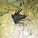 Tailess whipscorpion - Paraphrynus carolynae