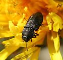 Small Black Buprestid - Anthaxia