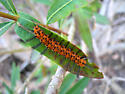 Oleander Moth - Syntomeida epilais
