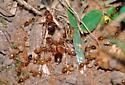 Prenolepis flushed out by a mole - Prenolepis imparis - female