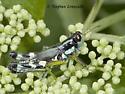 Green-Legged Grasshopper - Melanoplus viridipes-species-group - male