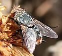 Tachinini - Peleteria anaxias