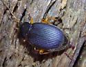 ground beetle - Chlaenius