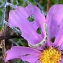Cosmos Eater - Eupithecia miserulata