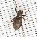 Beetle - Stenelmis