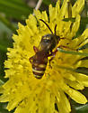 Bee 407A 0146 & 0148 - Nomada - male