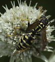 Lots of bugs on Eryngium - Polistes dominula