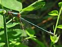 Dragonfly - Lestes dryas - female