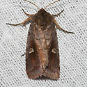 White-eyed Borer Moth - Hodges#9522 - Iodopepla u-album
