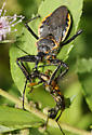 Assassin Bug for ID - Apiomerus crassipes