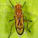 Unknown Fly - Tetanocera plebeja