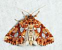 Silver-Spotted Fern Moth - Callopistria cordata
