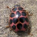 American 18-spotted Ladybird (Pink), 12:27pm - Calvia quatuordecimguttata