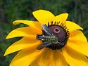 Pollinators at Big Eastern - Lepidophora