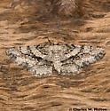Moth - Glena nigricaria - female