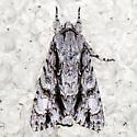 Acronicta beameri - Hodges #9234W - Acronicta atristrigatus