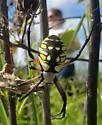 Spider 1 - Argiope aurantia