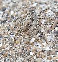 Arctosa littoralis