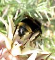 Bombus? - Bombus fernaldae - male