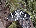 Which moth? - Trichodezia californiata