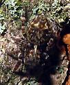 Black-palped Jumper - Pseudeuophrys erratica