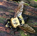 carpenter bee mimic fly - Laphria grossa